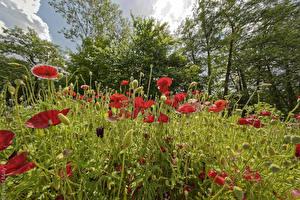 Фотографии Маки Много Бутон Цветы