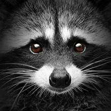 Картинки Еноты Вблизи Глаза Морды Взгляд Усы Вибриссы Носа Животные