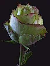 Картинка Роза Крупным планом На черном фоне Цветы