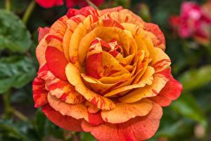 Фотография Розы Крупным планом Оранжевые Цветы