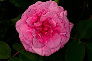 Обои Роза Вблизи Розовый цветок