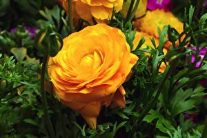 Картинки Розы Вблизи Желтые Бутон Цветы