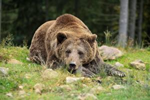 Картинка Камень Медведи Бурые Медведи Траве Лежачие Взгляд Лапы Животные