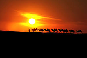 Фотографии Рассветы и закаты Пустыня Верблюд Солнца Силуэт Природа