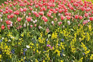 Фотография Тюльпаны Нарциссы Гиацинты Много Цветы