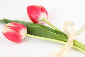 Обои Тюльпан Белом фоне 2 Бантики Цветы