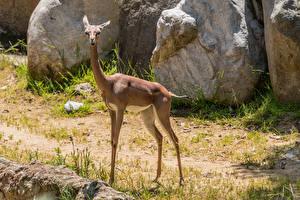 Обои Антилопа Gerenuk Животные картинки