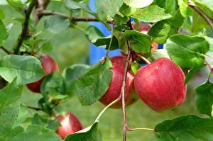 Фотография Яблоки Вблизи Ветка Листва Красные Еда