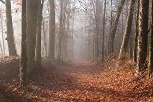 Фотография Осень Лес Дерева Листва Тропинка Туман Природа