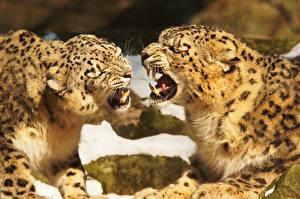 Картинка Большие кошки Клыки Ирбис Два Рычит Животные