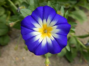 Фотография Вьюнки Вблизи Синяя Цветы