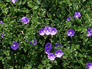 Фото Вьюнки Фиолетовый цветок
