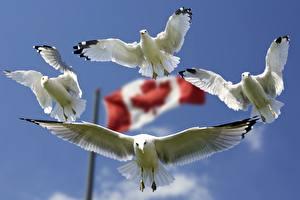 Картинка Птицы Канада Чайка Флага Полет Белый Четыре 4 Животные