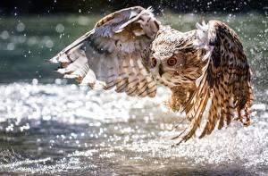 Картинка Птицы Совы Вода Крылья Летящий