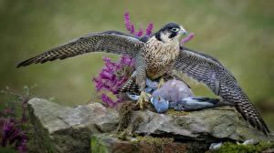 Фотография Птицы Голуби Ястреб Охотится Мертвец Животные