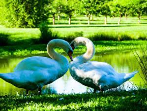 Фото Птицы Лебедь Вдвоем Траве Белая Сердце животное