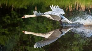 Фото Птицы Вода Лебеди Взлетает Отражении Животные