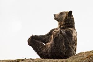 Обои Медведь Бурые Медведи Лапы Сидя Смешная животное