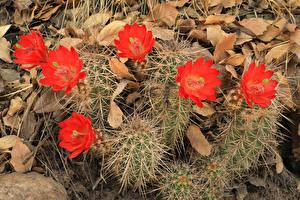 Фотографии Кактусы Вблизи Красный цветок