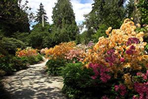 Обои Канада Парк Рододендрон Ванкувер Кустов Stanley Park Природа