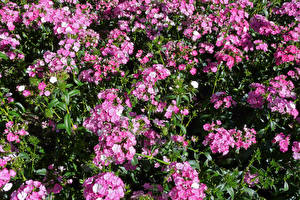 Обои Гвоздики Много Розовый Цветы картинки