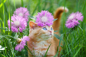 Обои Коты Васильки Котята Взгляд Рыжий Траве Животные