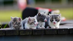 Фотография Кошки Котенок Милые Четыре 4 Munchkin животное