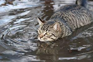 Фотографии Кошки Воде Плывет Животные