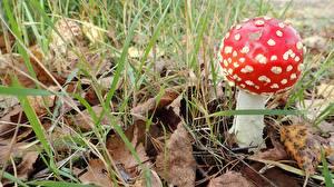 Обои Вблизи Грибы природа Мухомор Листва Траве Природа