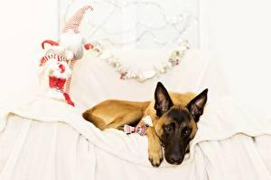 Обои Собака Кровати Овчарки Бельгийская овчарка