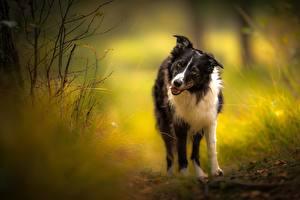 Фотография Собака Бордер-колли Взгляд Животные