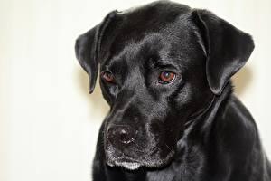Картинки Собака Вблизи Головы Смотрит Черный Boxador животное