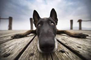 Фото Собака Вблизи Нос Морда Смотрит Бельгийская овчарка животное