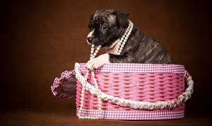 Фотографии Собака Украшения Коробка Щенок Животные
