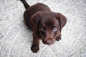 Картинка Собаки Щенок Лабрадор-ретривер Смотрят Сверху Животные