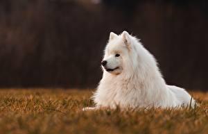 Фото Собаки Белых Самоедская собака Животные