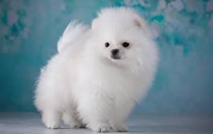 Картинка Собака Белые Шпицев Пушистая Животные