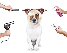 Фотографии Собаки Белом фоне Джек-рассел-терьер Причёска Рука Фен животное