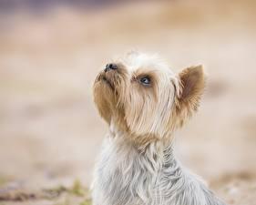 Обои Собака Йоркширский терьер Головы Животные