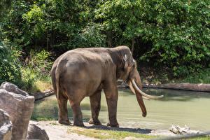 Обои Слоны Вода Животные картинки