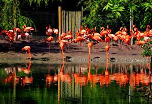 Картинка Англия Птицы Много Вода Фламинго Flamingo Park Chester Zoo Животные
