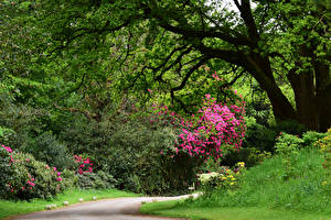 Картинки Англия Парк Рододендрон Кустов Деревья Ramster Gardens Surrey Природа