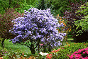 Фото Англия Парки Рододендрон Кустов Ramster Gardens Surrey Природа