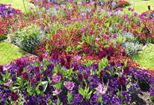 Фотографии Англия Парки Тюльпаны Маргаритка Примула Wrest Park Bedfordshire Цветы
