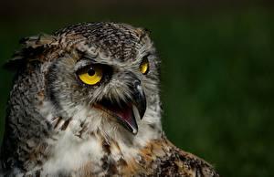 Картинка Филин Совы Птицы Вблизи Клюв Голова животное