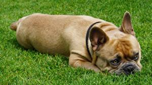 Фотографии Французский бульдог Собаки Трава Лежа животное