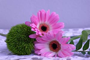 Картинка Гербера Вблизи 2 Розовая Цветы