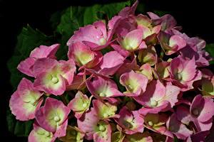 Фото Гортензия Крупным планом Много Розовый Цветы