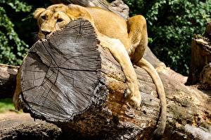 Картинки Лев Ствол дерева Лапы Лежа Отдыхает Бревна Животные