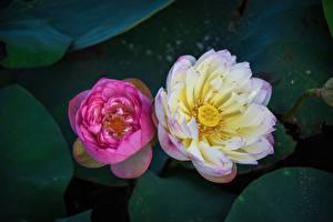 Обои для рабочего стола Лотос Крупным планом Двое Сверху Розовая Цветы